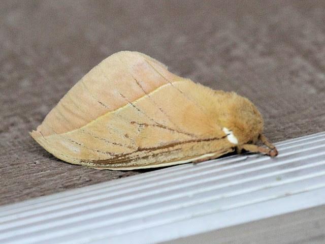 Io Moth 2-20130617