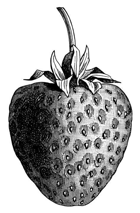 Vintage Strawberry ~ Free Clip Art Illustration   Old