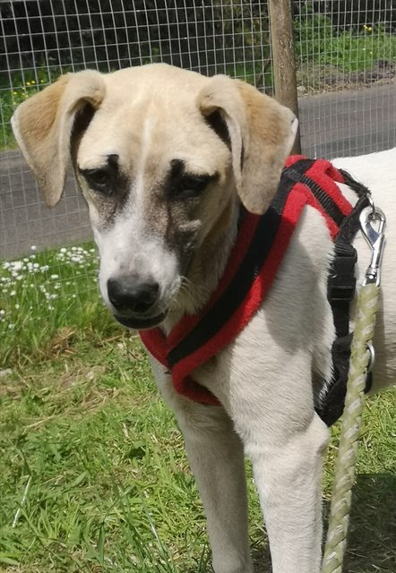 Rosea – 6-7 month old female Cross-Breed
