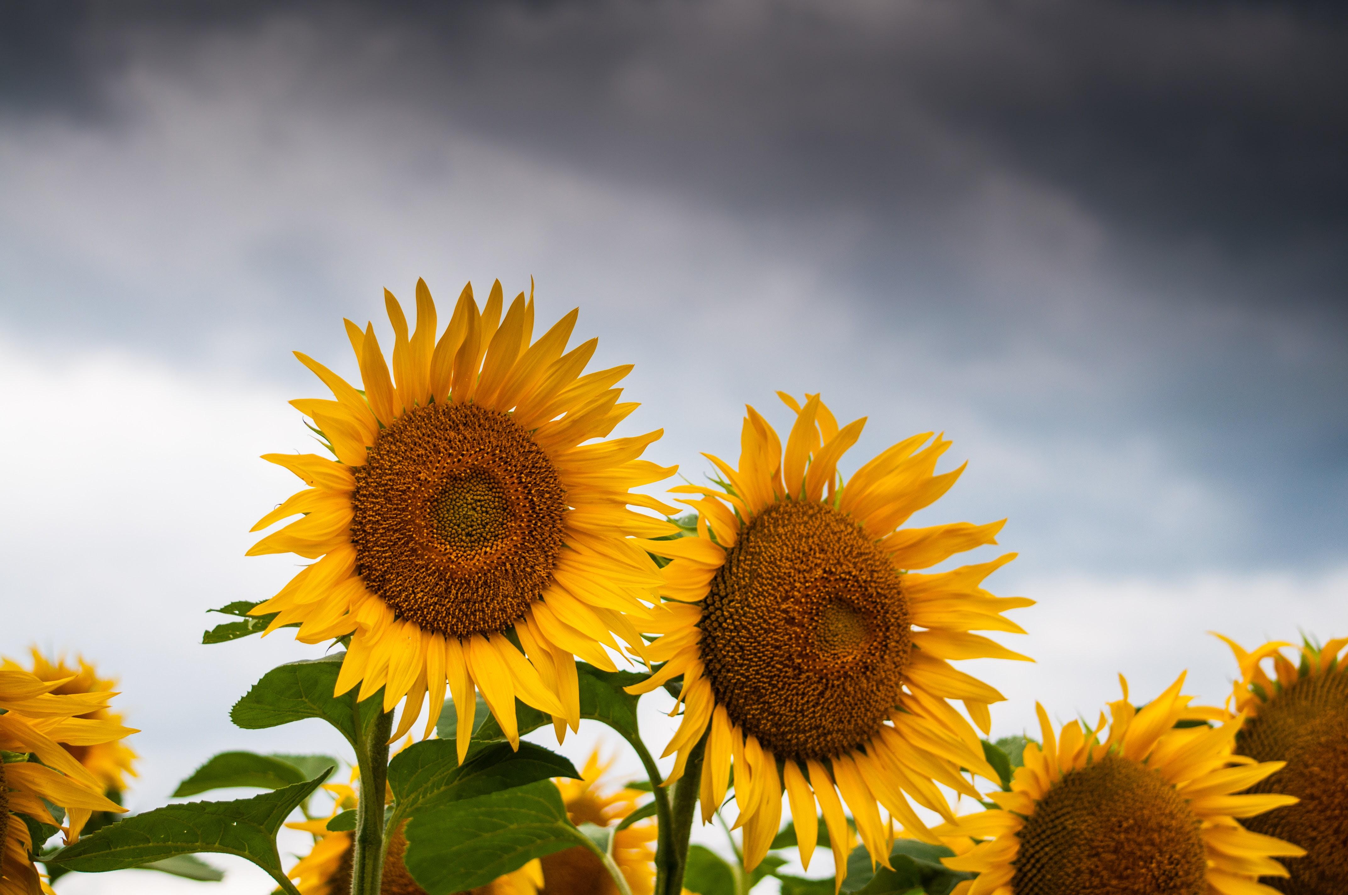 Sunflower Bloom  C2 B7 Free Stock Photo