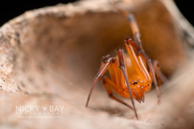 Comb-Footed Spider (Theridiidae) - DSC_2131