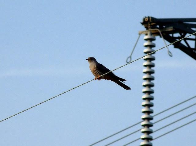 24205 - Cuckoo, Bryn-bach-Common