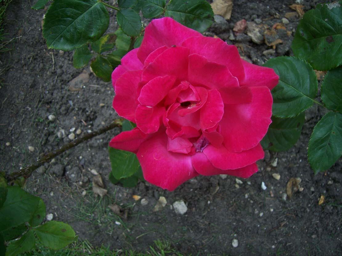 Photo de rose Maria Callas