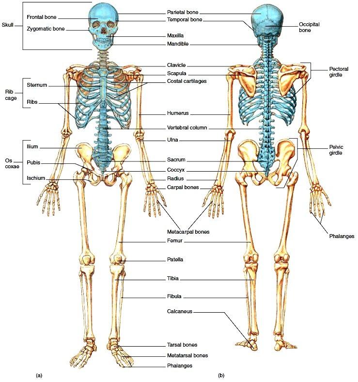 Skeletal system. Organization of the Skeletal System