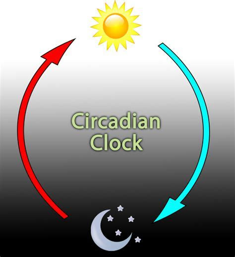 Spending time with circadian rhythms.   The Linus Pauling Institute
