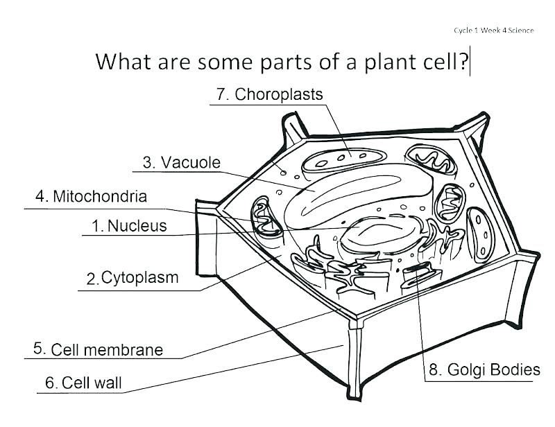 Science Animal And Plant Cells Worksheet Answers - worksheet