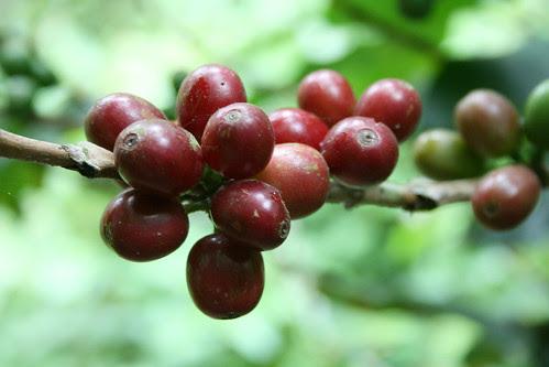 Coffee brans on stick