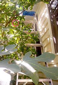 The anthropophagous fig tree.
