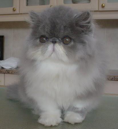 Persian Cat Lovers: PELUANG USAHA TERNAK KUCING