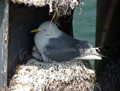 21980 - Kittiwake on Mumbles Pier, Gower