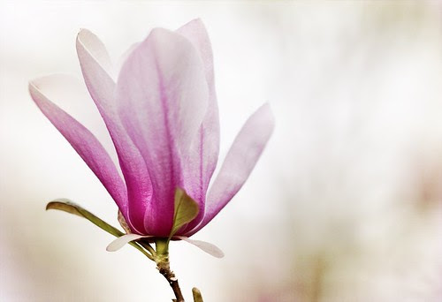 Japanese Magnolia 13x19 fine art photography print
