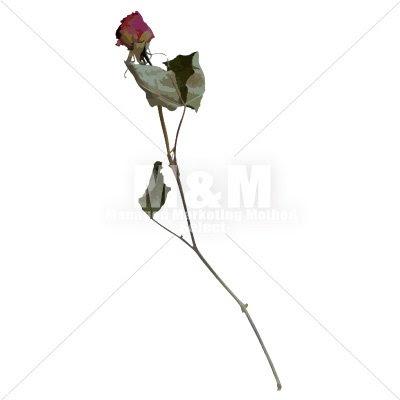 イラスト素材花 ドライフラワー バラ 15 Mm Collection