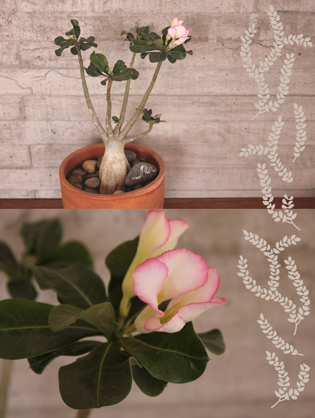 Desert Rose bloom