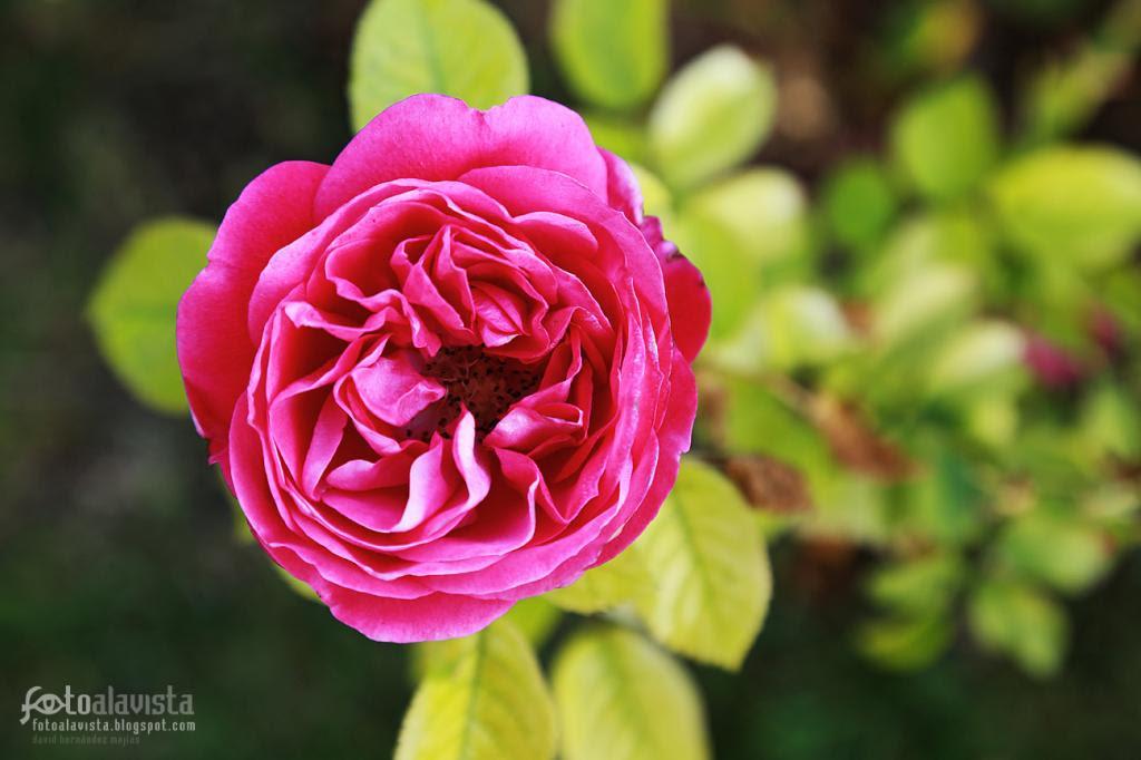 Renaciente rosa coqueta. Fotografía creativa - Fotografía decorativa