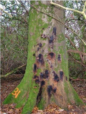 Phytophthora ramorum – a parasitic fungus to look out for