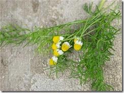 Hạt giống hoa cúc Đức 3 (1)