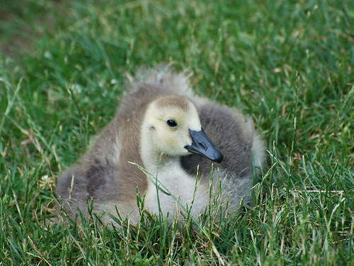 Morningside Gosling