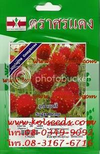เมล็ดพันธุ์ดอกบานไม่รู้โรยสีแดง ตราศรแดง