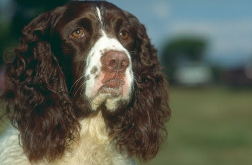"The image ""http://www.puppyfind.com/breed/english_springer_spaniel/l_247070.jpg"" cannot be displayed, because it contains errors."