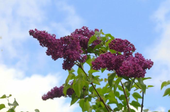 Darker lilac