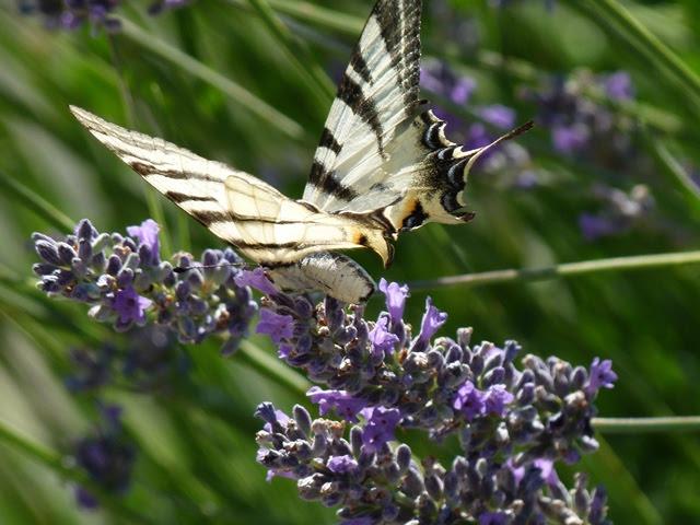 Butterfly in Ivan's garden 2011