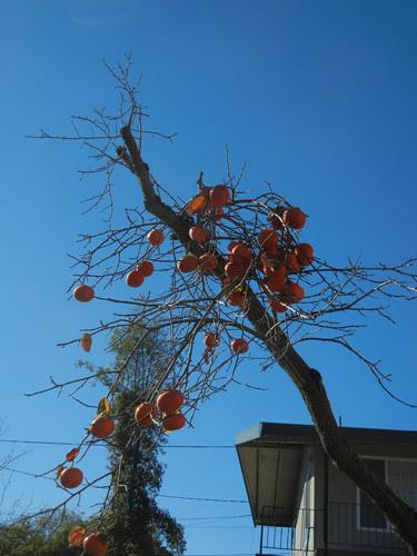 DSCN7361 _ Persimmon Tree