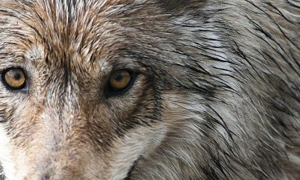 denali-park-wolf