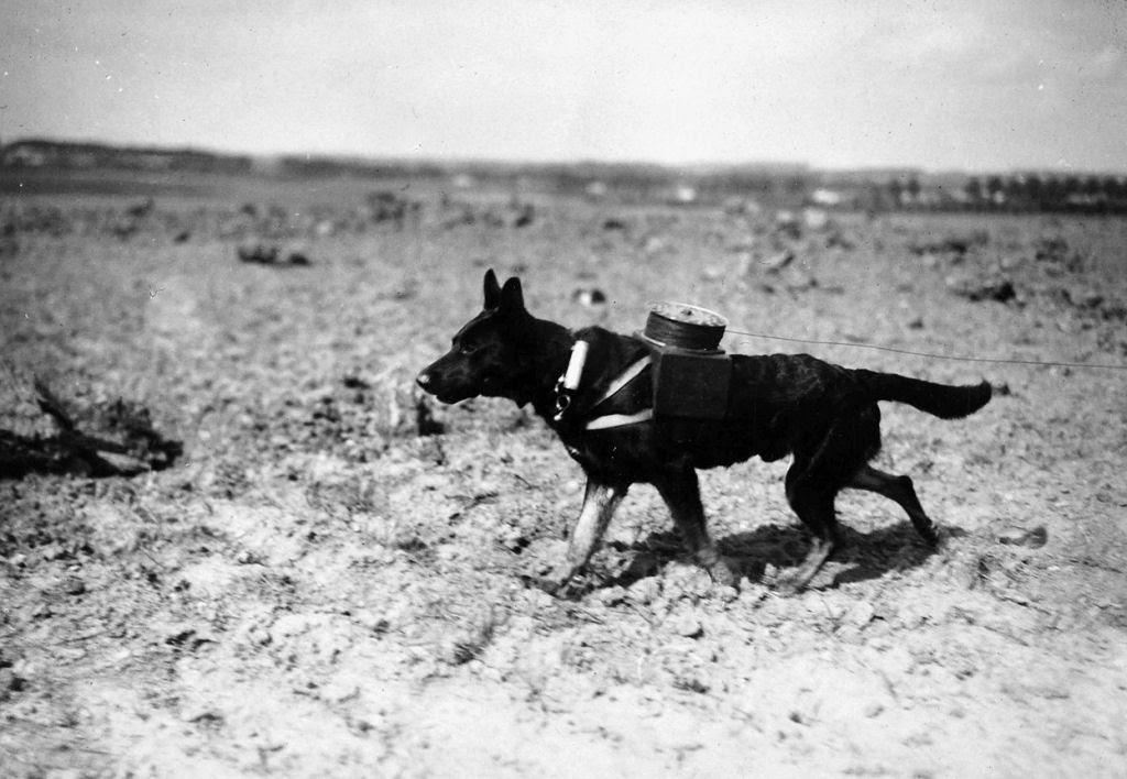 Os animais também lutaram na Primeira Guerra Mundial 12