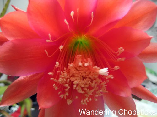 5.11 Pink Night-Blooming Cereus 3