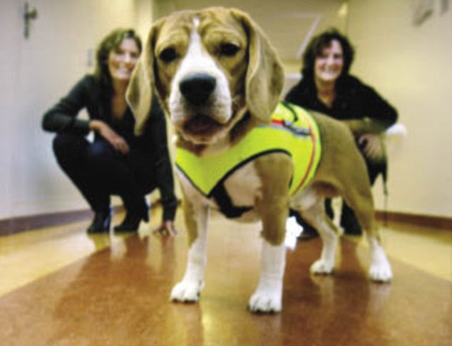 Cliff the Beagle, in a special luminous vest, has sniffed out C.Difficile with super accuracy