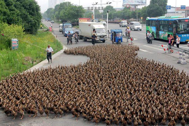 5.000 πάπιες προκάλεσαν κυκλοφοριακό