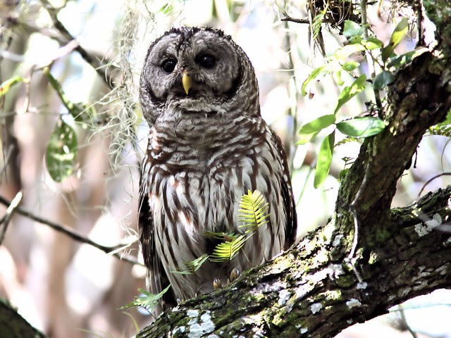 Barred Owl 20130414
