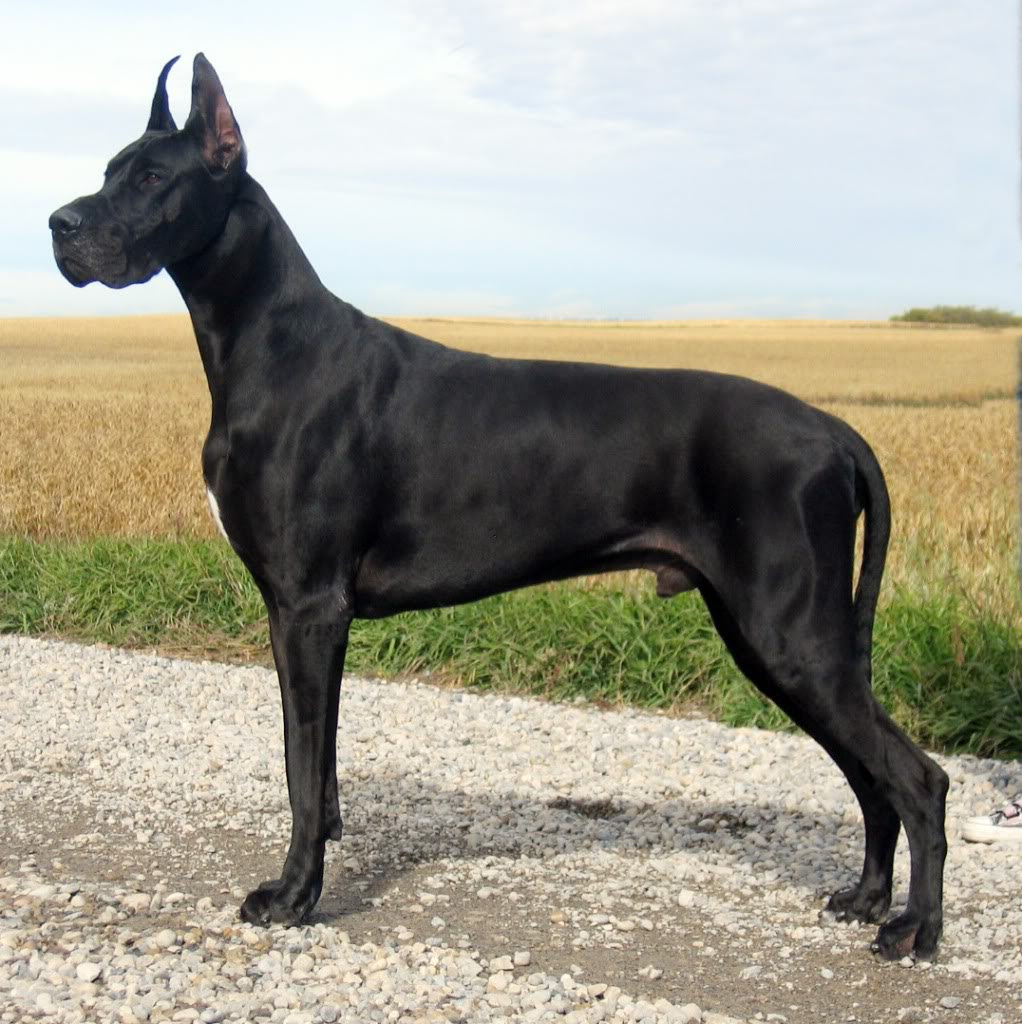 Great Dane Breed Guide  Learn about the Great Dane.