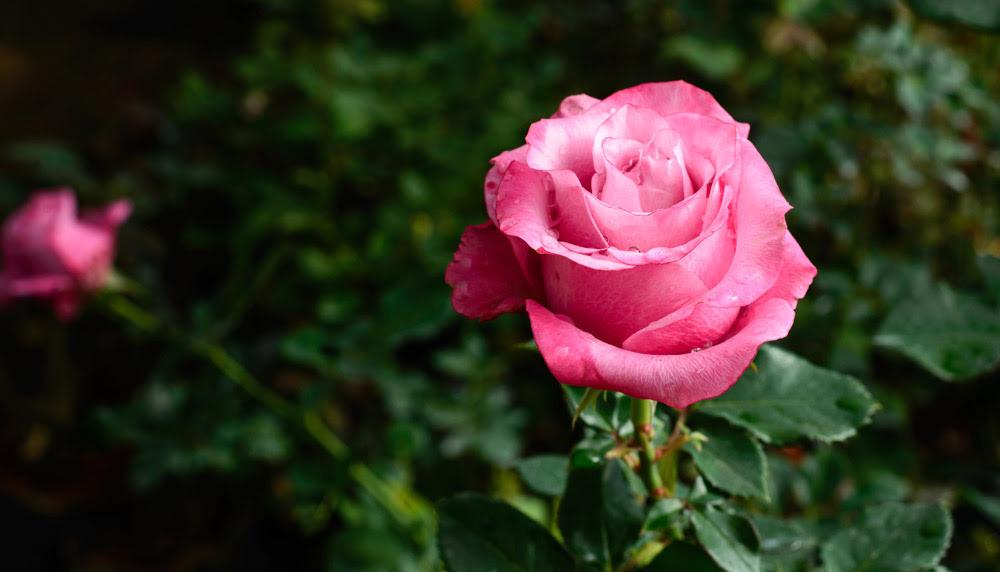 De Qué Color Debes Regalar Rosas Especial San Valentín La Opinión