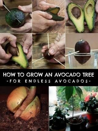 grow-an-avocado-tree