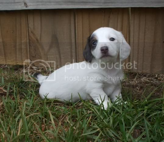 Extreme piebald miniature dachshund puppy long hair blue & tan white dachie pups Pictures, Images and Photos