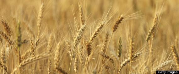 Genetically Modified Wheat