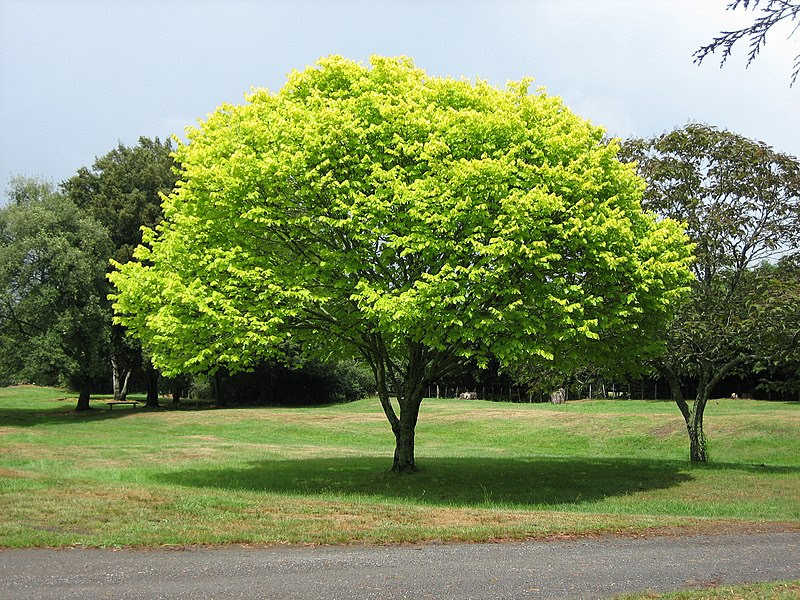 File:Bright green tree - Waikato.jpg