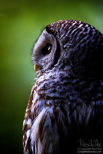 Portrait of a Barred Owl, Edmonds, Washington