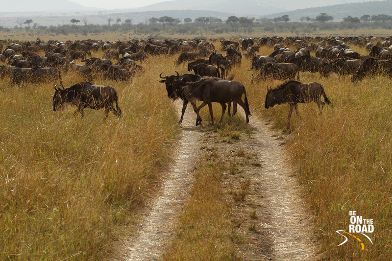 The Wild rampage of these Wildebeests