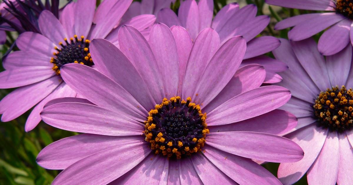 Entre plantas y macetas consejos y cuidados de la dimorfoteca - Alegria planta cuidados ...
