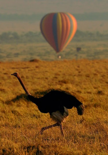 An ostrich walks in front of a hot air balloon carrying tourists during the annual wildebeest migration in the Masai Mara game reserve on September 14, 2016. (Carl de Souza/AFP/Getty Images)