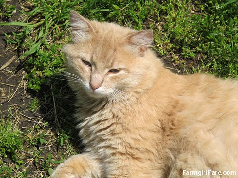 (26-9) The new cat is an expert at lounging - FarmgirlFare.com