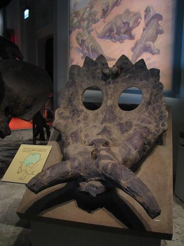 Partial Anchiceratops Skull