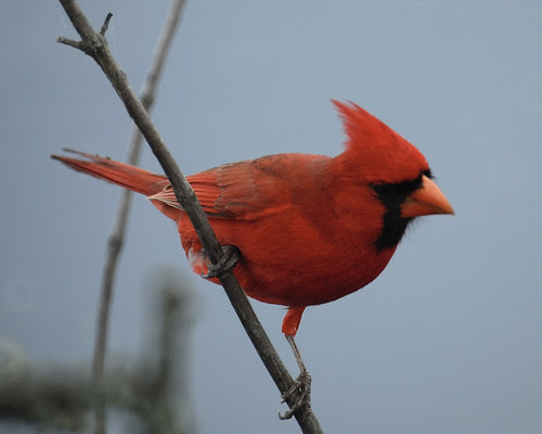 Mystery Bird Male Northern Cardinal Cardinalis Cardinalis