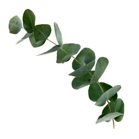 Eukalyptus   Rozvoz kv?tin do 90ti minut