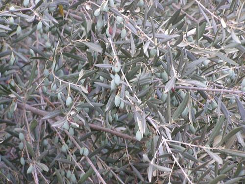 olive tree fournes hania chania