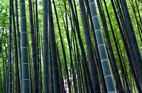 Bamboo_8
