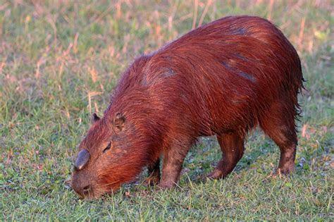 File:Capybara (Hydrochoerus hydrochaeris) alpha male   Wikimedia Commons