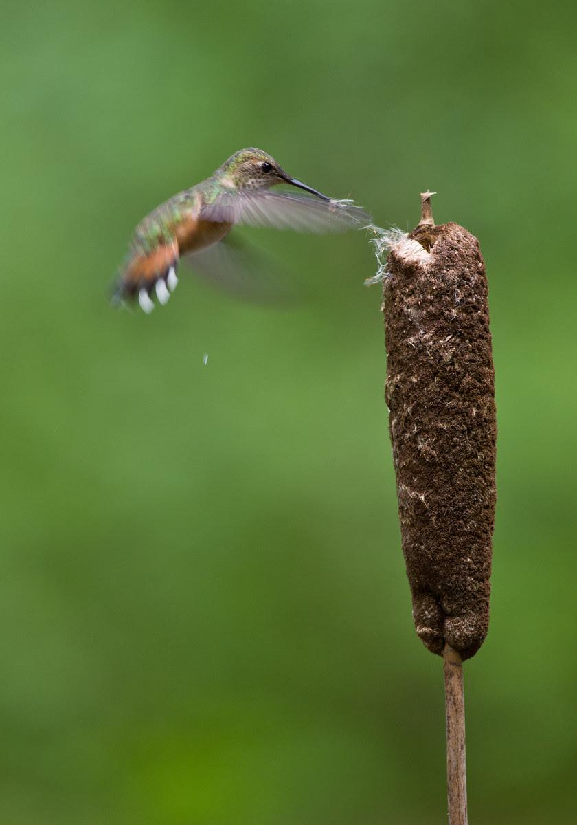 Photographing hummingbird gathering nesting material.